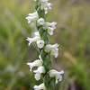 Another look at Nodding Ladies Tresses flower. These little orchids like wet meadows.  I was hoping to find some today!<br /> Spiranthes cernua<br /> Orchidaceae<br /> GSMNP NC 9/25/08
