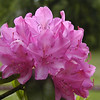Catawba Rhododendron is starting its bloom time! This specimen is in my good friend Cathy's front yard. It can be seen in many locations in the Smokies and NC. One really good place to see it is Roan Mountain Gardens!<BR><B> http://www.roanmountain.com/gardens.htm  Rhododendron catawbiense  Ericaceae May 23, 2008
