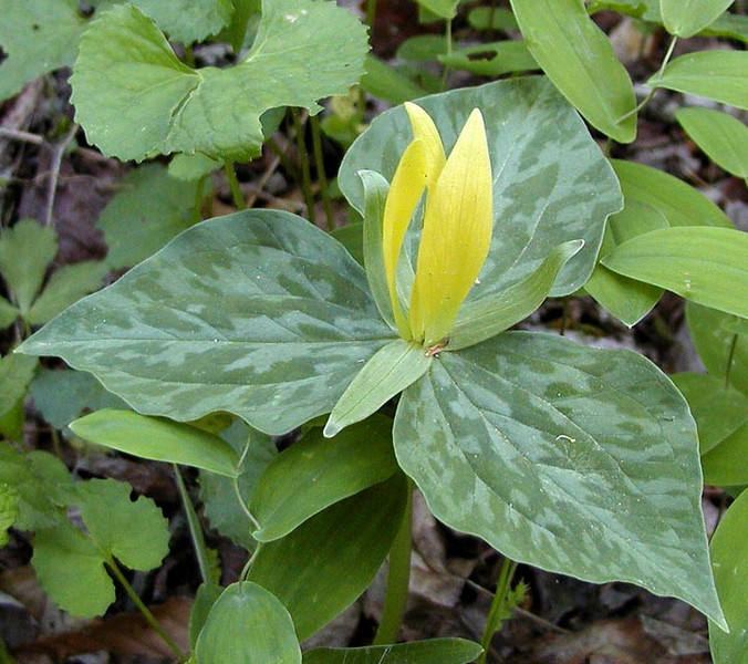 Yellow Toadshade was abundant along Little Brier Gap today.<br /> Trillium luteum<br /> Liliaceae<br /> GSMNP May 08