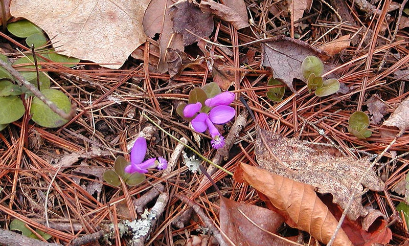 Gaywings--This was a first for me! I've seen nearly ever other form of polygala but this one. <br /> Polygala paucifolia<br /> Polygalaceae<br /> Hedgewood Gardens, Townsend, TN 2008
