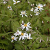 White Wood Asters along Balsam Mountain Road are still in peak bloom as of 9/13/08<br /> Aster divaricatus<br /> Asteraceae<br /> GSMNP Aug. 2008