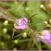 Smooth Purple Gerardia aka Purple False Foxglove<br /> Agalinis purpurea<br /> Scrophulariaceae<br /> Starr Mtn. TN 9/30/08