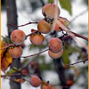 Persimmons ripening now that the weather has turned cooler.<br /> I like the pretty subdued orange color they have.