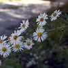 White Heath Aster -Fall is the season of asters! Many different kinds and colors.<br /> This one is growing by the road at Alarka.<br /> Symphyotrichum ericoides <br /> Asteraceae