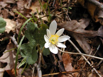 "Bloodroot opening in the sunshine.  Sunshine isn't ""supposed"" to be good for flower photography, but it sure is good for the flowers and the soul! Sanguinaria canadensis Ranunculaceae White Oak Sinks, GSMNP, TN 2008"
