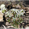 Narrow-leaved White Topped Aster-new species for me found in the burned over area.<br /> Sericocarpus linifolius<br /> Asteraceae<br /> Tallassee, TN Aug. 2008