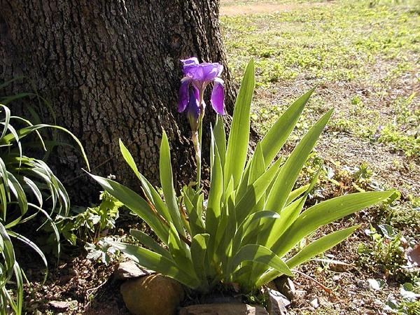 Purple Iris<br /> Iridaceae<br /> Hedgewood Gardens, Townsend, TN 2008