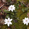 These Hepatica blooms were impressive for both their large size, their perfect condition, and their unusual color pattern.  Very pleasing to see!<br /> Chestnut Top Trail has oodles of them along its slopes. <br /> Hepatica acutiloba<br /> Ranunculaceae<br /> GSMNP TN 2008
