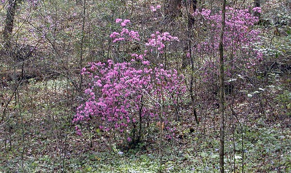 """Hedy's Pink Azaleas.<br /> I asked Hope about them and her remark was """"Mother planted them. She wanted color in her woods.""""  A woman after my own heart!<br /> Hedgewood Gardens, Townsend, TN 2008"""