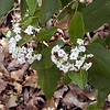 "White Heliotrope--another heirloom plant preserved by Hedy!<br /> It is ""White Lady"" and has been around since 1892.<br /> Heliotrope Arborescens<br /> Boraginaceae<br /> Very sweet smelling<br /> Working on the ID<br /> Hedgewood Gardens, Townsend, TN 2008"