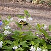 Eastern Tiger Swallowtail on White Virginia Bluebells<br /> Hedgewood Gardens, Townsend, TN 2008