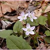 Spring Beauties--the prettiest ones I've seen yet! <br /> Claytonia virginica<br /> Portulacaceae<br /> White Oak Sinks, GSMNP, TN 2008