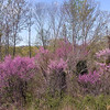 Pink Haze from many many redbud trees at the edge of the forest.