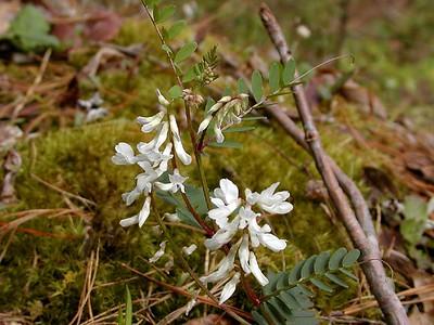 Carolina Vetch along Schoolhouse Gap Trail on the way to the sinks.  Vicia caroliniana Fabaceae White Oak Sinks, GSMNP, TN 2008
