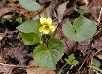Smooth Yellow Violet Viola pensylvanica Violaceae White Oak Sinks, GSMNP, TN 2008