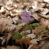 Violet Wood Sorrel<br /> Oxalis violacea<br /> Oxalidaceae<br /> Trotters Bluff SWA 2008