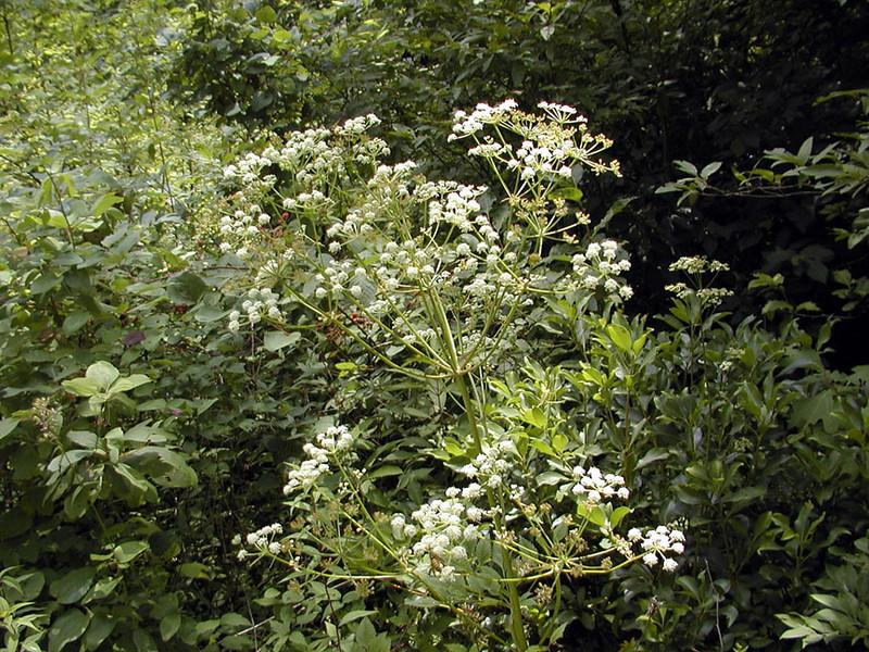 Filmy Angelica<br /> Angelica triquinata<br /> Apiaceae  <br /> Alarka NC 83-08