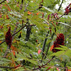Smooth Sumac looks so pretty in Autumn. The berries look like red velvet.<br /> Rhus glabra<br /> Anacardiaceae<br />  Starr Mtn. TN 9/30/08