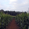 Wandering among the corn rows following the map and the clues and dead reckoning.