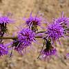 Scaly Blazing Star<br /> Liatris squarrulosa<br /> Asteraceae<br /> Starr Mtn. TN 9/30/08