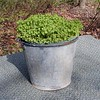 Bucket Full of Yellow Wood Sorrel<br /> Oxalis stricta<br /> Oxalidaceae<br /> Hedgewood Gardens, Townsend, TN 2008