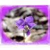 Cleft Violet<br /> Viola palmata<br /> Violaceae<br /> Trotters Bluff SWA 2008