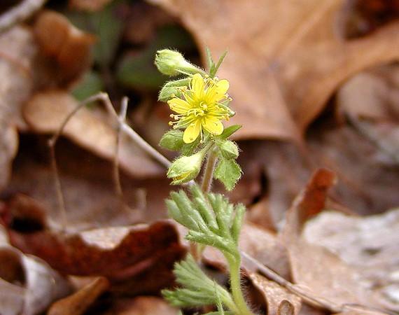 Barren Strawberry<br /> Waldensteinia fragarioides<br /> Rosaceae<br /> Hedgewood Gardens, Townsend, TN 2008