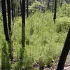 Lush growth of healthy baby pine trees below the trail.<br /> This area already had a controlled burn a few years ago and look at the payoff?!!<br /> The little trees sure smell wonderful!<br /> Tallassee, TN Aug. 2008