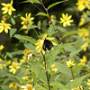 Helianthus spp with a swallowtail butterfly along Balsam Mountain Road<br /> Asteraceae<br /> August 2008 still in peak bloom