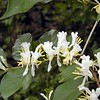Closeup of Common European Honeysuckle<br /> Lonicera periclymenum<br /> Caprifoliaceae