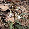 "Cutleaf Toothwort blooming along Schoolhouse Gap Road<br /> Dentaria laciniata<br /> Brassicaceae<br /> Blount Co. TN 2008 Click here for directions to Chestnut Top Trail<br />  <a href=""http://tinyurl.com/2lrzu8"">http://tinyurl.com/2lrzu8</a>"