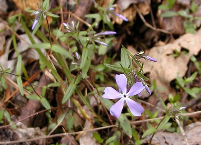 The purple phlox is just beginning to open.  A few weeks from now the entire floor of the sinks will be covered with mayapples and phlox in bloom! White Oak Sinks, GSMNP, TN 2008