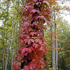 Beautiful red Virginia Creeper Vine<br /> Parthenocissus quinquefolia<br /> Vitaceae <br /> Starr Mtn. TN 9/30/08
