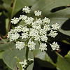 Mountain Angelica just opening<br /> Angelica triquinata<br /> Apiaceae <br /> Alarka, NC 8-3-08
