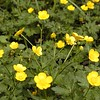 "Buttercups are everywhere and while they are not rare at all they are still very pretty. I like them because they are sunny and cheerful!<br /> Its interesting to note that this flower and the one to follow are both of the same family, but one is a common roadside ""weed"" to some while the other is alot less common!<br /> Ranunculus acris<br /> Ranunculaceae<br /> May 08"