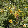 "McDowell's Sunflowers were in bloom at Newfound Gap.<br /> I think these are my second favorite helianthus species. Second only to Helianthus atrorubens.  These flowers have history and have the most wonderfully rich golden glow. You can read this history here in an edition of Mountain Voices by George Ellison. <a href=""http://tinyurl.com/6z7agd"">http://tinyurl.com/6z7agd</a><br /> Helianthus dowellianus<br /> Asteraceae<br /> GSMNP, NC/TN border <br /> 8-3-08"
