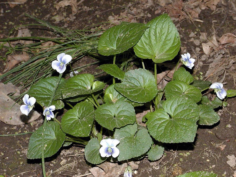 <BR> A new find for me! First time ever seeing these or even knowing they existed!<BR> Confederate violets of beautiful blue and gray!<BR>Viola sororia f. priceana<BR> Violaceae<BR> Growing along Little River, Blount County, TN 2008