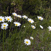 Oxeye Daisies wave in the breeze along Foothills Parkway. They are in bloom all over Blount County and are very pretty!<br /> Leucanthemum vulgare<br /> Asteraceae<br /> May 08