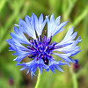 "Deep Blue Bachelors Button is the shade we're used to seeing.<br /> They are listed in the TN wildflower guide as ""rare""!<br /> They bloom in farm fields all around the county. <br /> Centaurea cyanus<br /> Asteraceae"