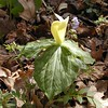 Mottled Trillium--Very hard to distinguish from T. Luteum or yellow toadshade<br /> Trillium discolor<br /> Liliaceae<br /> Hedgewood Gardens, Townsend, TN 2008