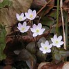 Hepatica--mostly pink variety. Chestnut Top Trail<br /> Hepatica acutiloba<br /> Ranunculaceae<br /> GSMNP TN 2008