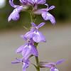 Southern Lobelia<br /> Lobelia amoena glandulifera<br /> Campanulaceae<br /> Starr Mtn. TN 9/30/08