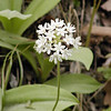 Speckled Wood Lily or White Clintonia is blooming now! This specimen was near Max Patch, NC, but it can be found in moist woods in the Smokies and Southern Appalachian forests.<br /> Clintonia umbellulata<br /> Liliaceae<br /> May 23, 2008