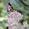 Silver Spotted Skipper nectaring on Joe Pye Weed<br /> Epargyreus clarus on Eupatorium maculatum<br /> Tallassee, TN Aug. 2008
