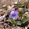 Long-spurred violets are coming out along Chestnut Top Trail<br /> Viola rostrata <br /> Violaceae<br /> GSMNP TN 2008