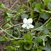 Close-up of Northern White Violet.