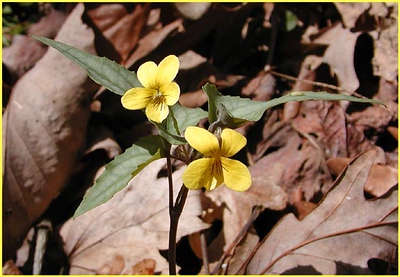 Halberdleaf Yellow Violet was the first wildflower I spotted on the path heading into the Sinks. <BR> Viola hastata Violaceae Great Smoky Mountains, TN 2008