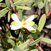 Reclining St. Andrew's Cross-- found in the burned over area. A first for me!<br /> Hypericum hypericoides<br /> Clusiaceae  	<br /> Tallassee, TN Aug. 2008