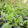 <B> Sea of Violets along the banks of Little River<BR>  Never realized this was here only a mile from my house!