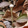 Solitary Pussytoes growing along Chestnut Top Trail<br /> Antennaria plantaginifolia<br /> Asteraceae<br /> GSMNP TN 2008